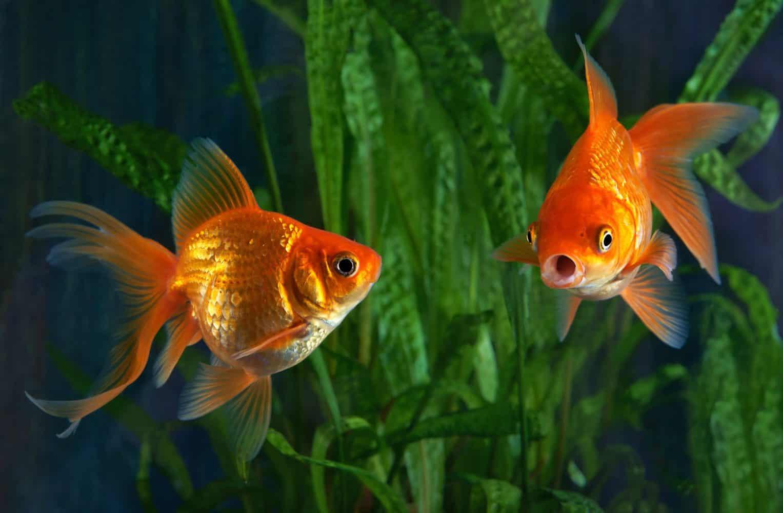 talking fish