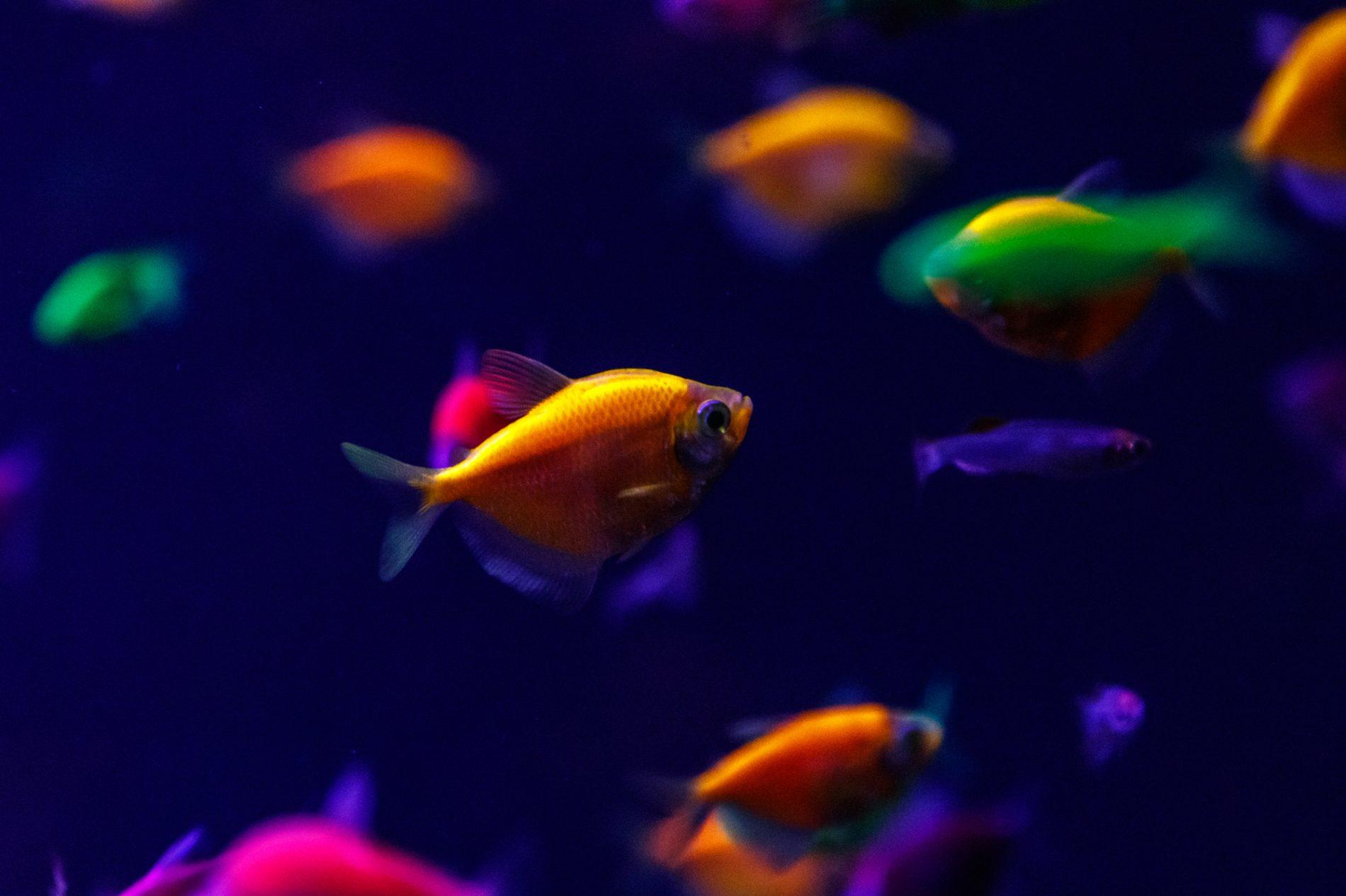 Glowfish Tetra
