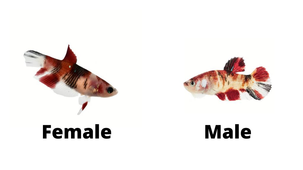male vs female koi betta